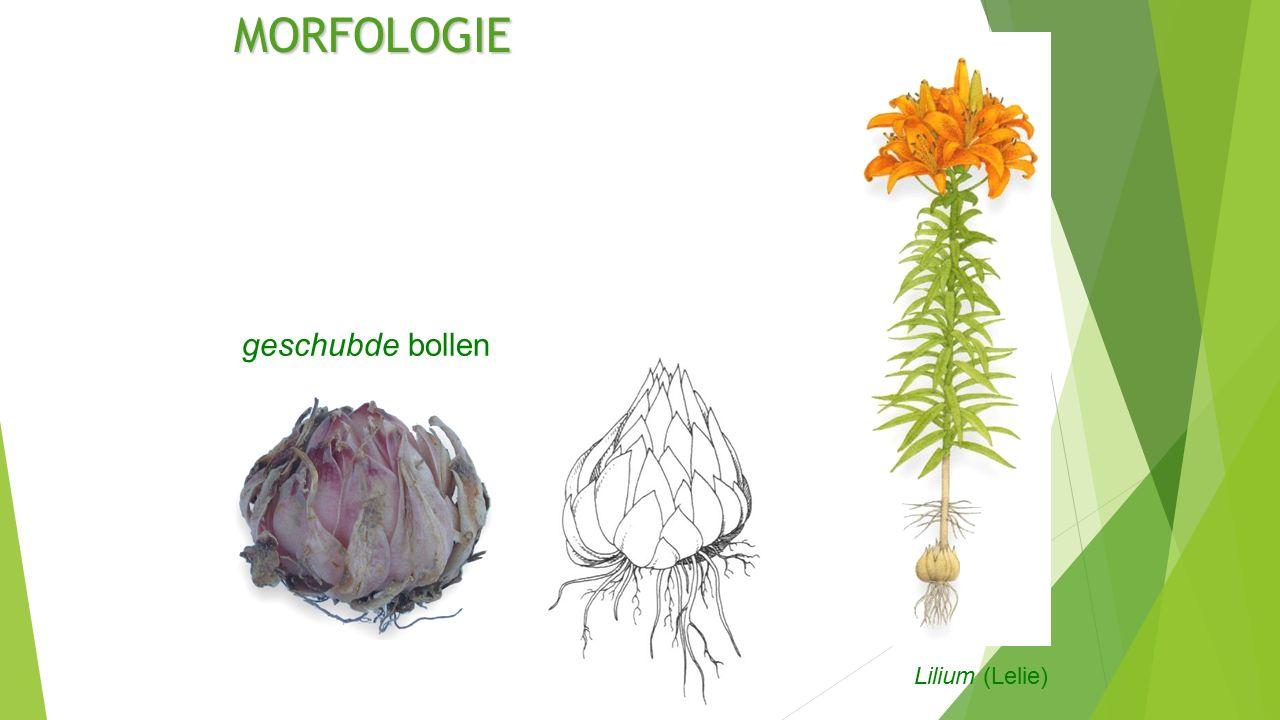 MORFOLOGIE geschubde bollen Lilium (Lelie)