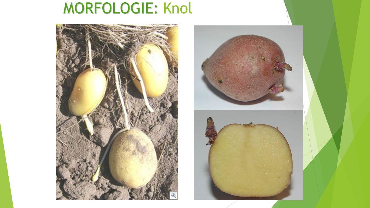 MORFOLOGIE: MORFOLOGIE: Knol