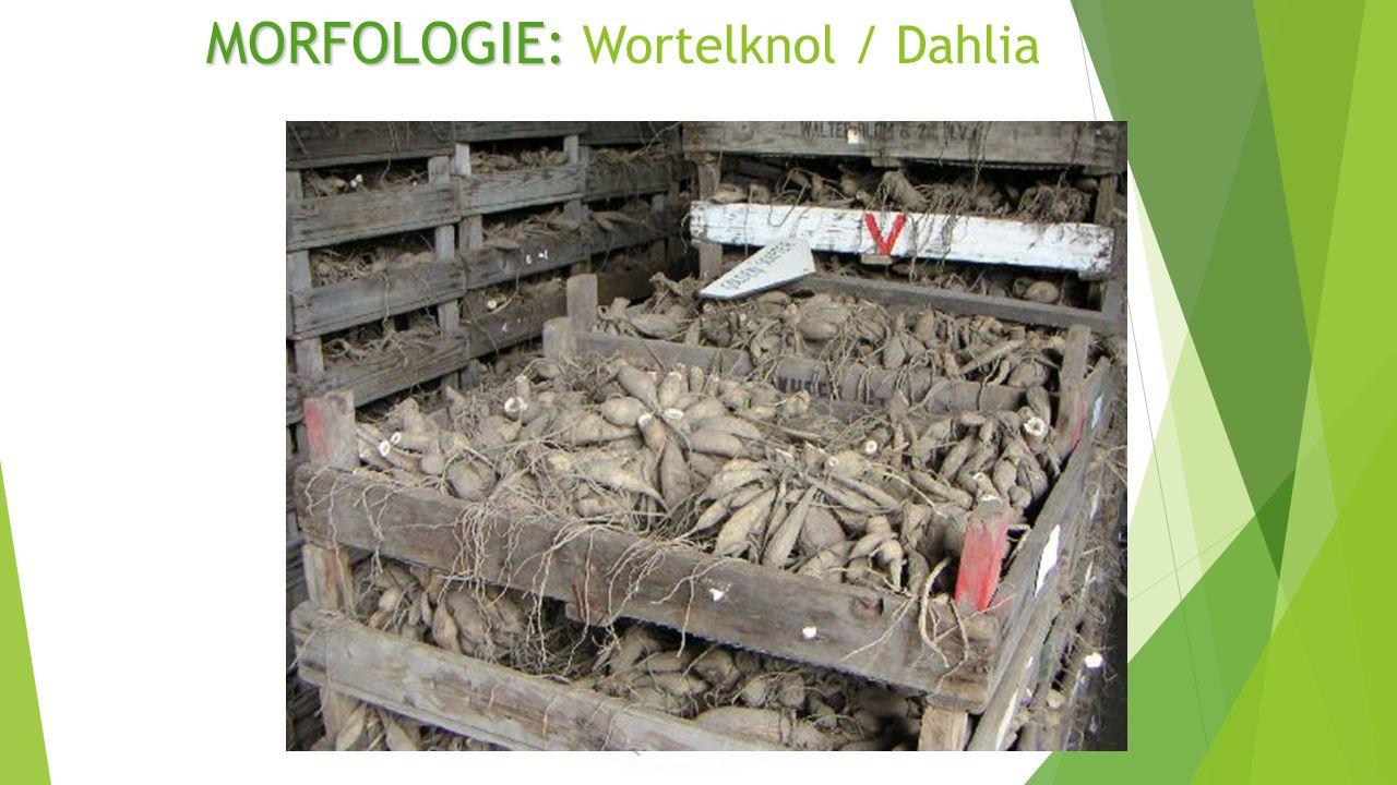 MORFOLOGIE: MORFOLOGIE: Wortelknol / Dahlia