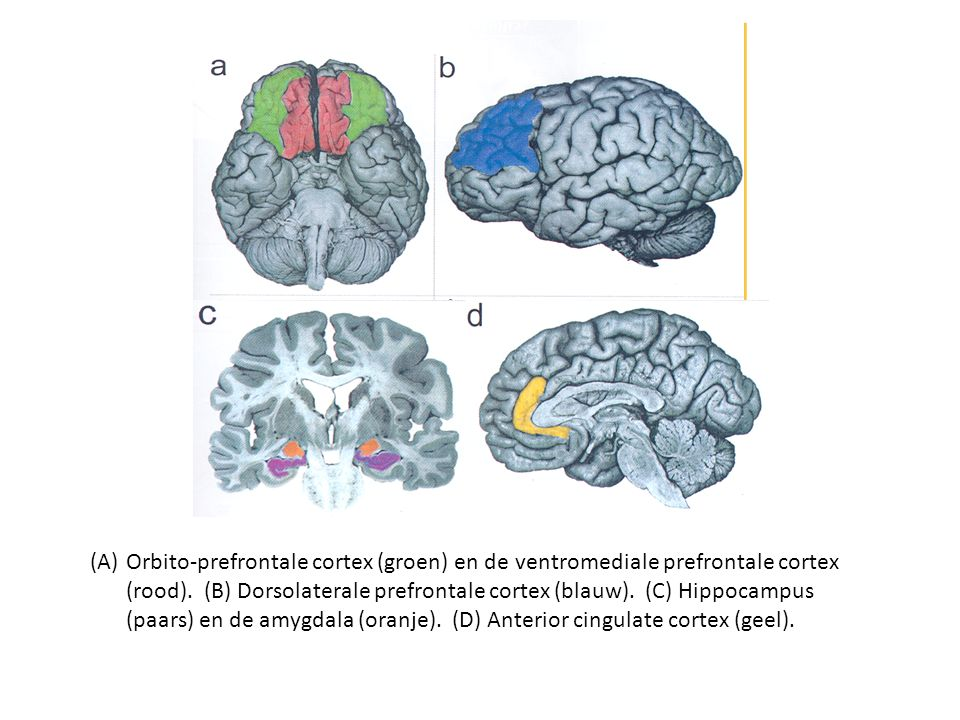 (A)Orbito-prefrontale cortex (groen) en de ventromediale prefrontale cortex (rood). (B) Dorsolaterale prefrontale cortex (blauw). (C) Hippocampus (paa