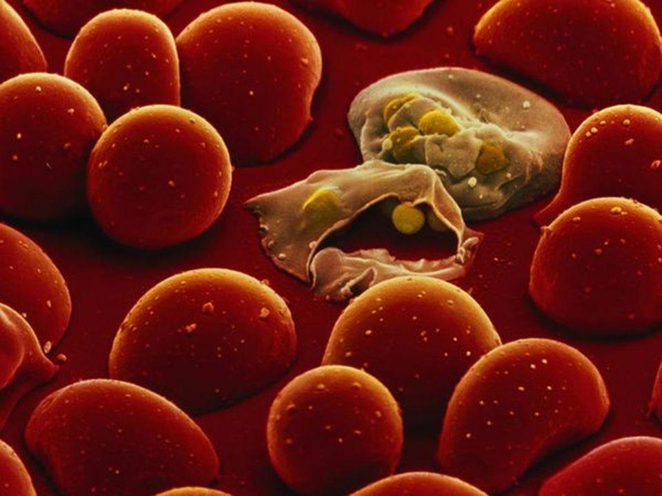 Plasmodium invasie falciparum: alle stadia RBC (voorkeur jong) vivax / ovale: reticulocyten malariae: oude RBC knowlesi: onbekend (oud?)
