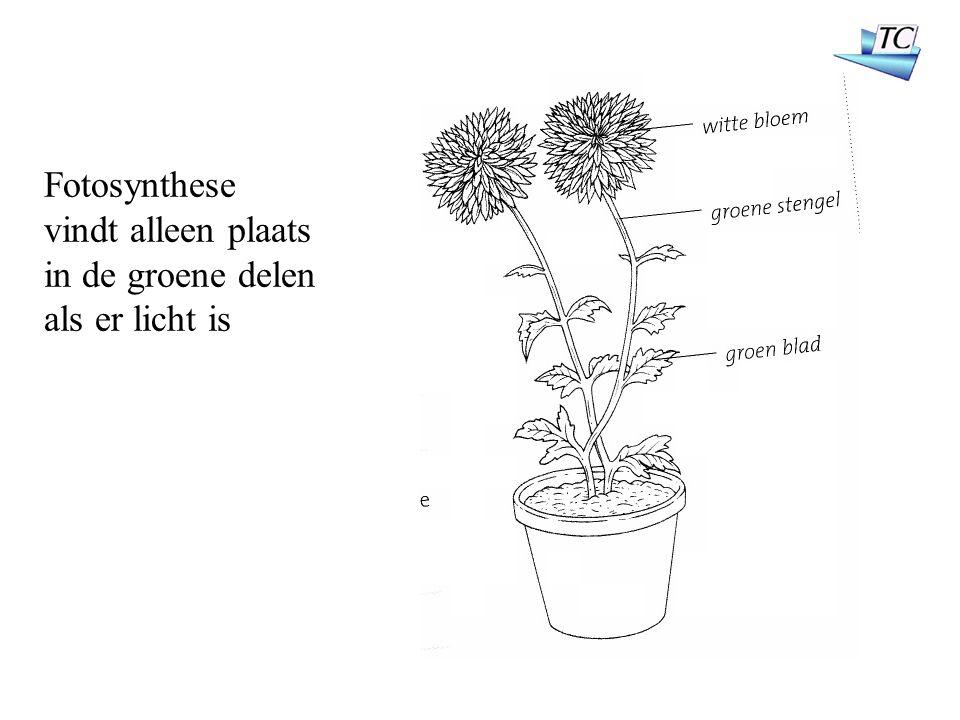 Fotosynthese vindt alleen plaats in de groene delen als er licht is