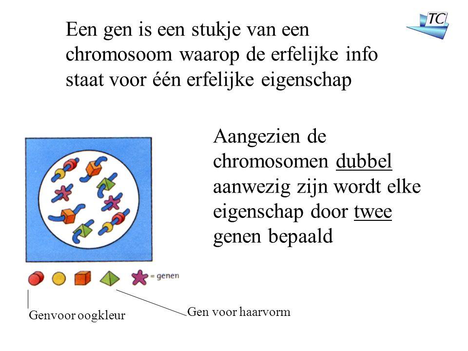 Genvoor oogkleur Een gen is een stukje van een chromosoom waarop de erfelijke info staat voor één erfelijke eigenschap Aangezien de chromosomen dubbel