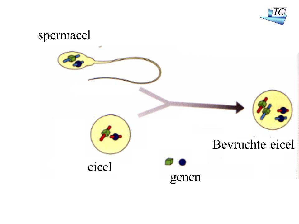 spermacel eicel genen Bevruchte eicel