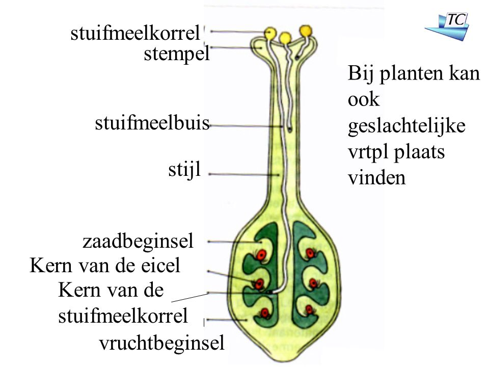 stuifmeelkorrel stempel stuifmeelbuis stijl zaadbeginsel Kern van de eicel Kern van de stuifmeelkorrel vruchtbeginsel Bij planten kan ook geslachtelijke vrtpl plaats vinden