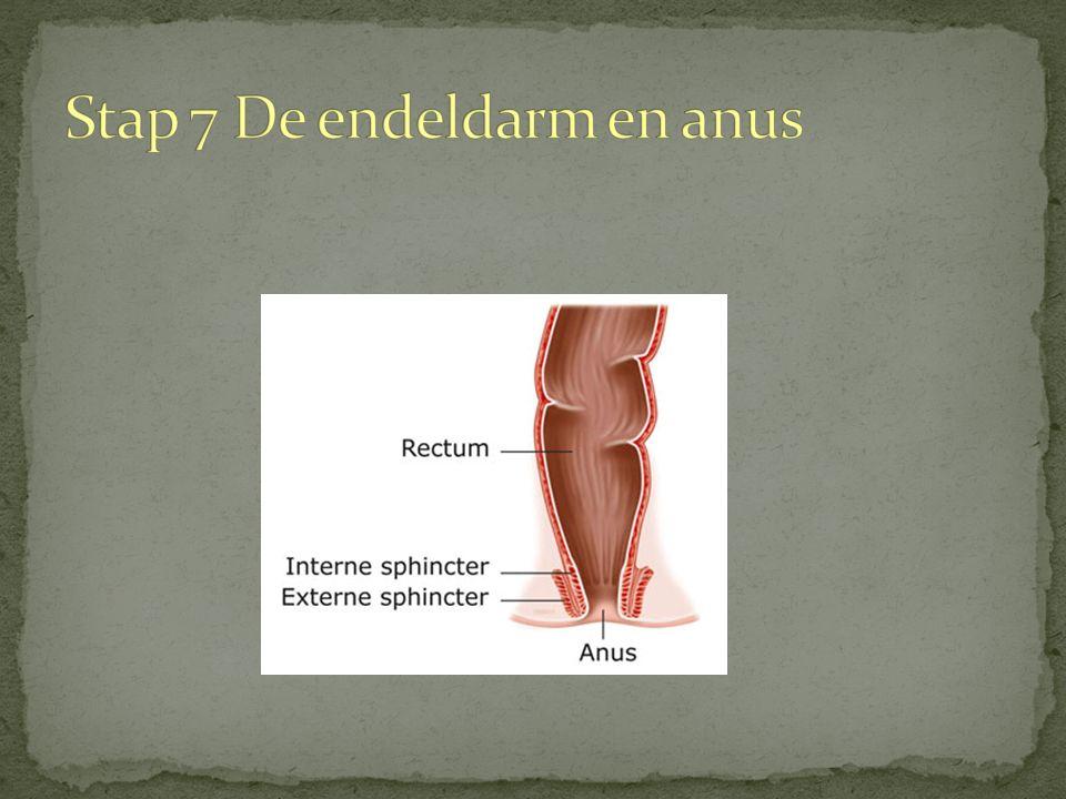 Bijzonderheden van de dikke darm Twee sluitspieren bij de anus. Inwendige en een uitwendige. Bevat Darmflora: elk mens verschillend ('tweede geheugen'