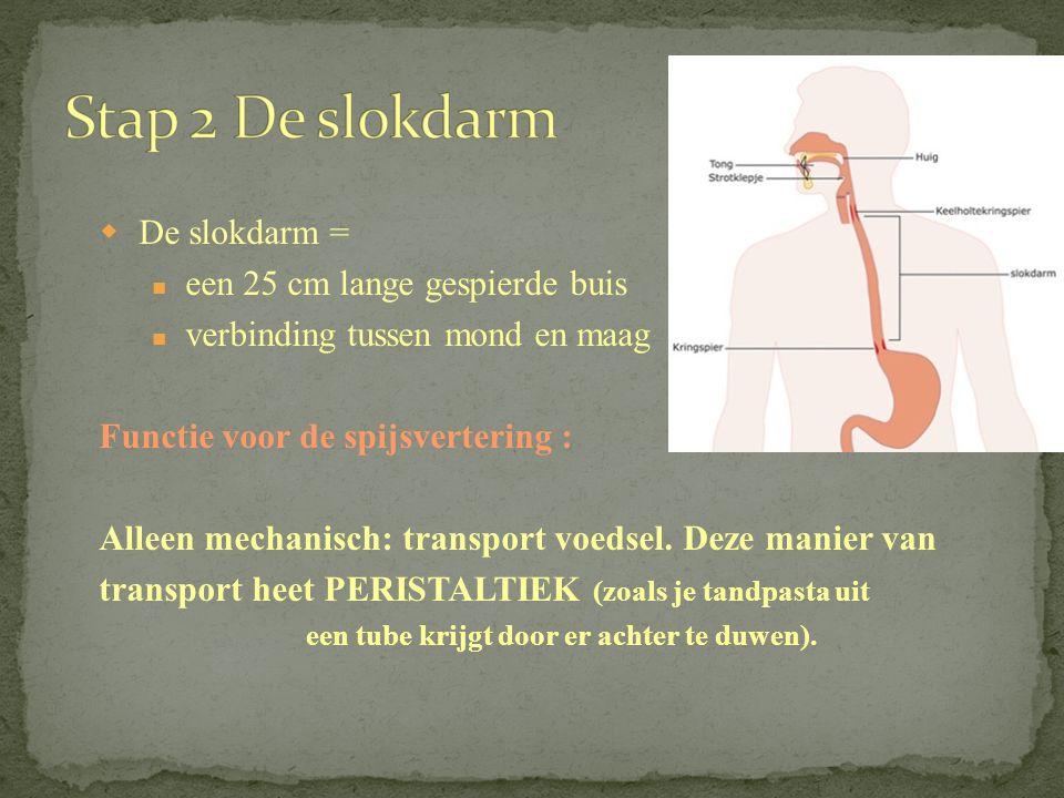  De slokdarm = een 25 cm lange gespierde buis verbinding tussen mond en maag Functie voor de spijsvertering : Alleen mechanisch: transport voedsel.
