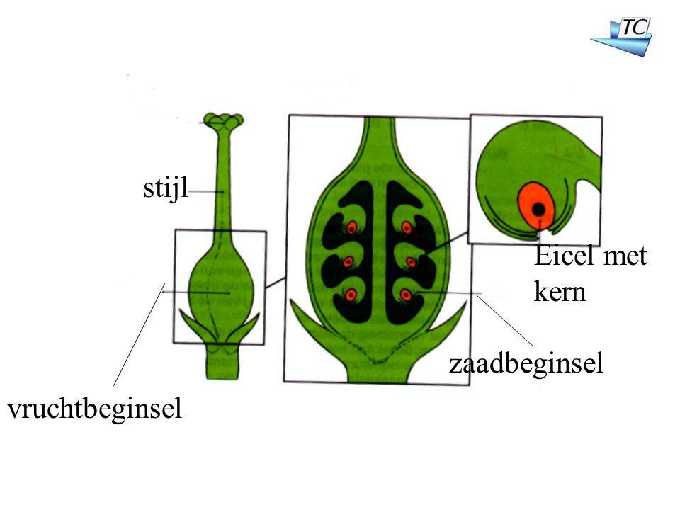 stijl vruchtbeginsel zaadbeginsel Eicel met kern