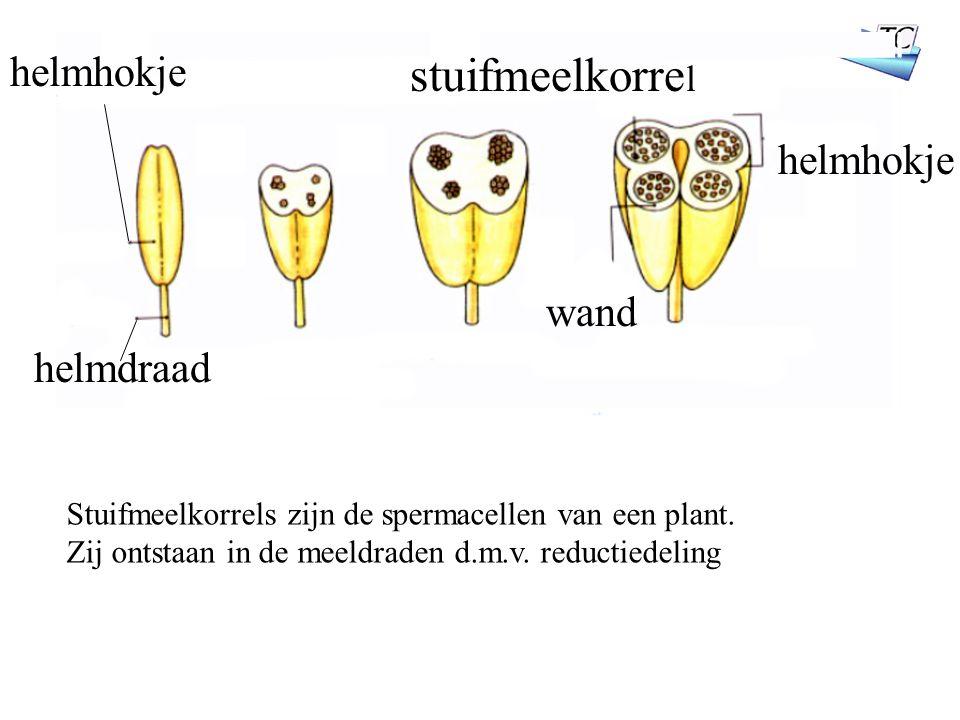 helmhokje stuifmeelkorre l wand helmdraad helmhokje Stuifmeelkorrels zijn de spermacellen van een plant.