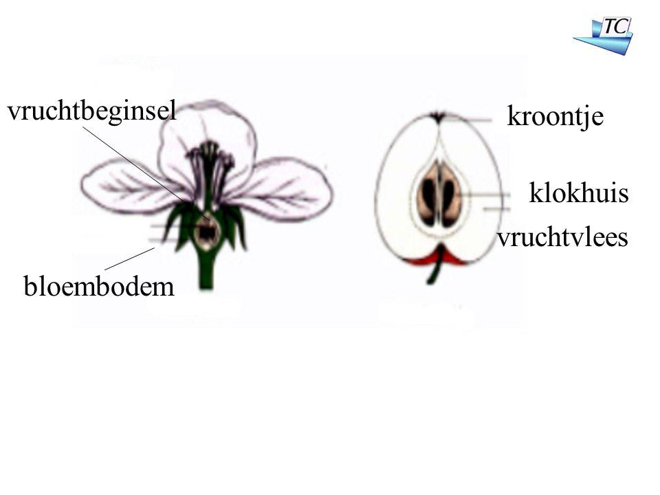 kroontje klokhuis vruchtvlees vruchtbeginsel bloembodem