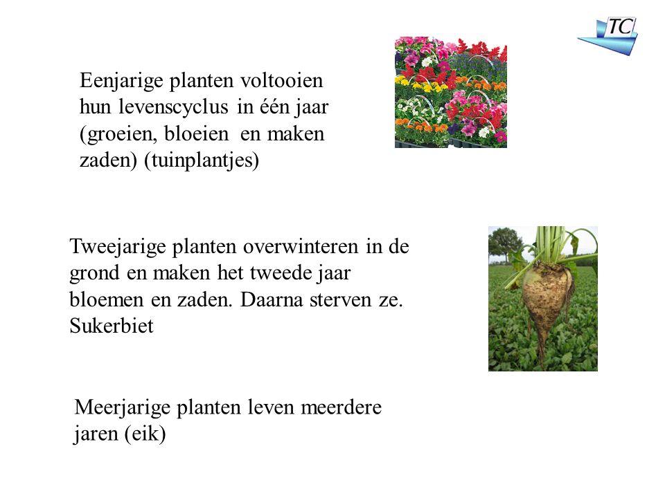 Eenjarige planten voltooien hun levenscyclus in één jaar (groeien, bloeien en maken zaden) (tuinplantjes) Tweejarige planten overwinteren in de grond en maken het tweede jaar bloemen en zaden.