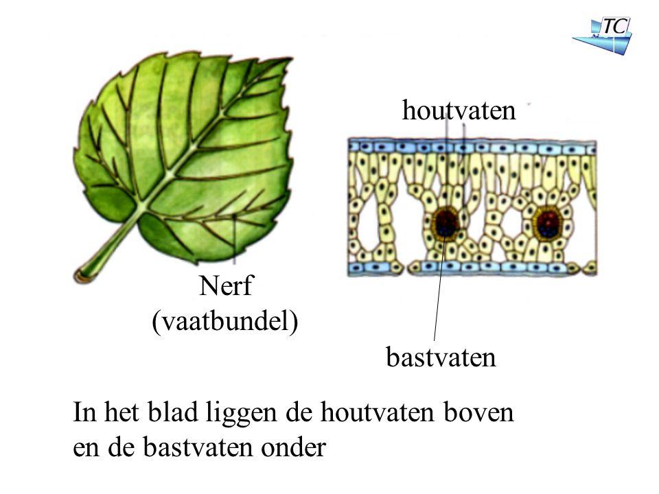 Nerf (vaatbundel) houtvaten bastvaten In het blad liggen de houtvaten boven en de bastvaten onder
