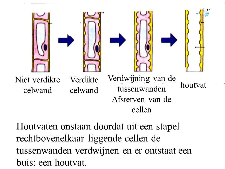 Niet verdikte celwand Verdikte celwand Verdwijning van de tussenwanden Afsterven van de cellen houtvat Houtvaten onstaan doordat uit een stapel rechtbovenelkaar liggende cellen de tussenwanden verdwijnen en er ontstaat een buis: een houtvat.