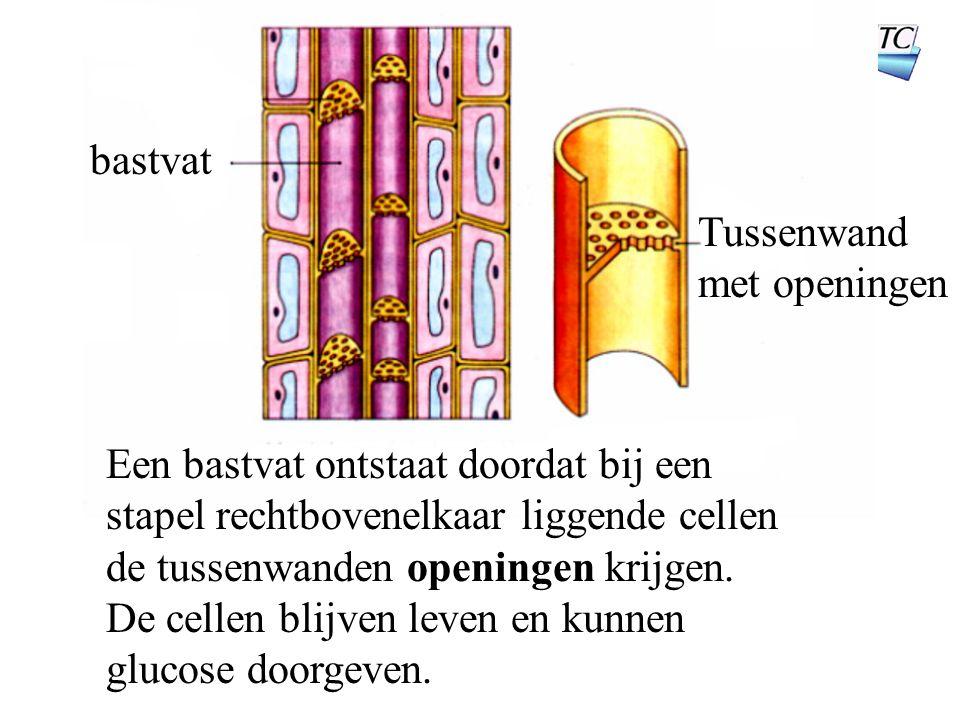 bastvat Tussenwand met openingen Een bastvat ontstaat doordat bij een stapel rechtbovenelkaar liggende cellen de tussenwanden openingen krijgen.