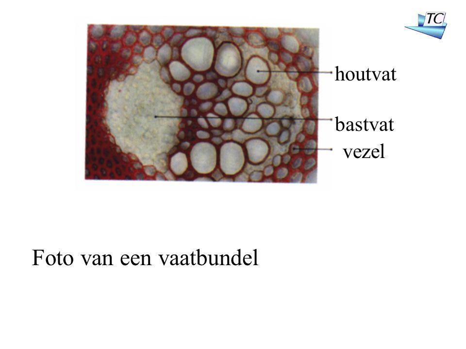 houtvat bastvat vezel Foto van een vaatbundel