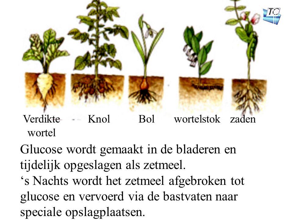 Verdikte wortel KnolBolwortelstokzaden Glucose wordt gemaakt in de bladeren en tijdelijk opgeslagen als zetmeel.