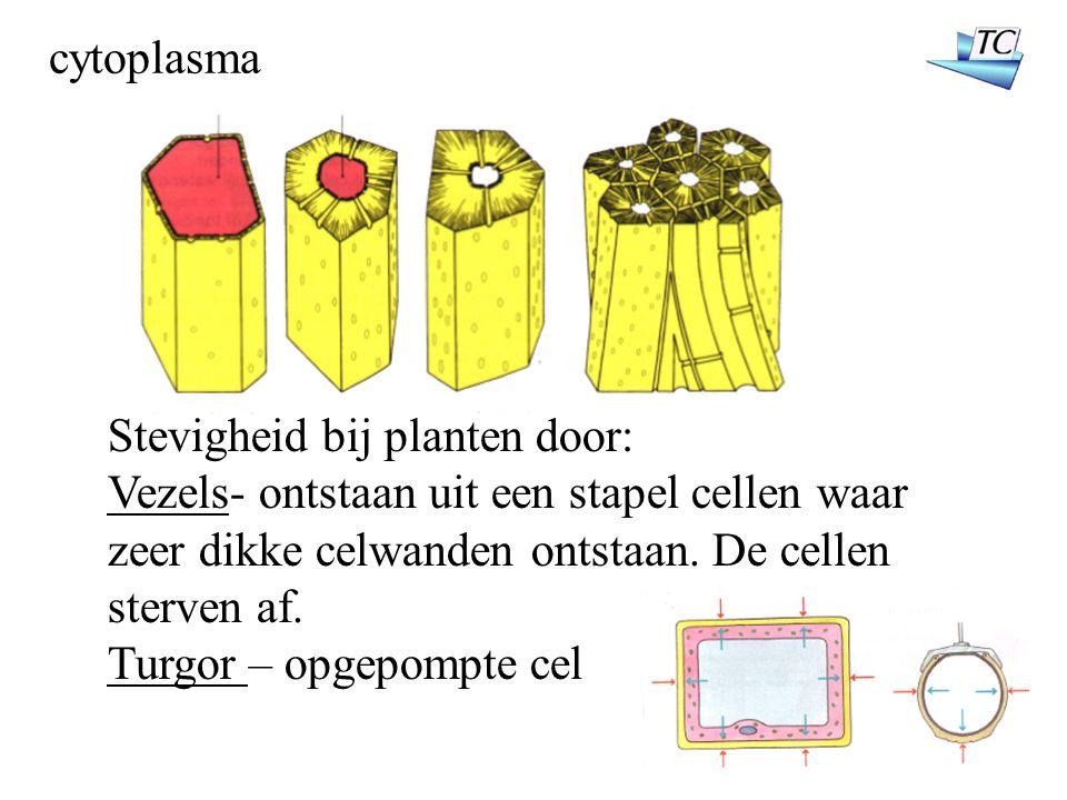 Stevigheid bij planten door: Vezels- ontstaan uit een stapel cellen waar zeer dikke celwanden ontstaan.