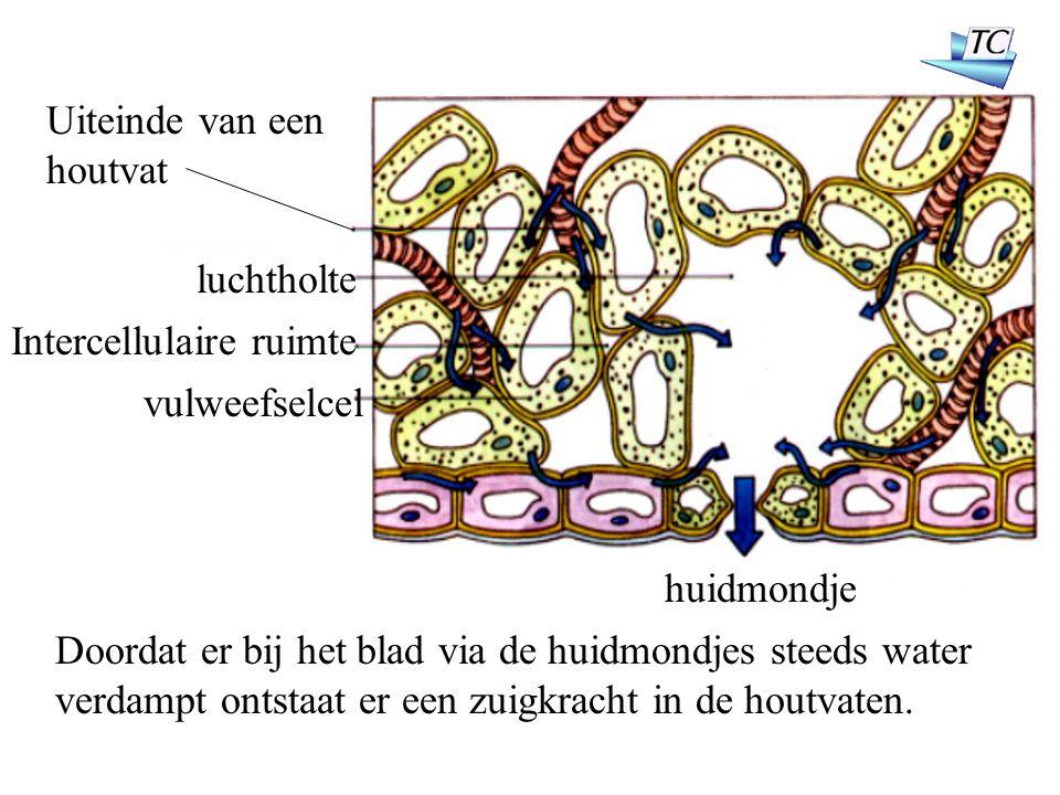 Uiteinde van een houtvat luchtholte huidmondje Intercellulaire ruimte vulweefselcel Doordat er bij het blad via de huidmondjes steeds water verdampt ontstaat er een zuigkracht in de houtvaten.
