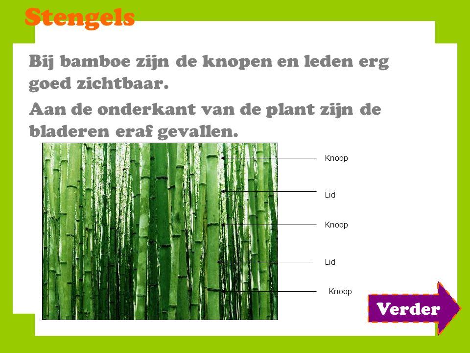 Stengels Bij bamboe zijn de knopen en leden erg goed zichtbaar. Aan de onderkant van de plant zijn de bladeren eraf gevallen. Knoop Lid Knoop Verder