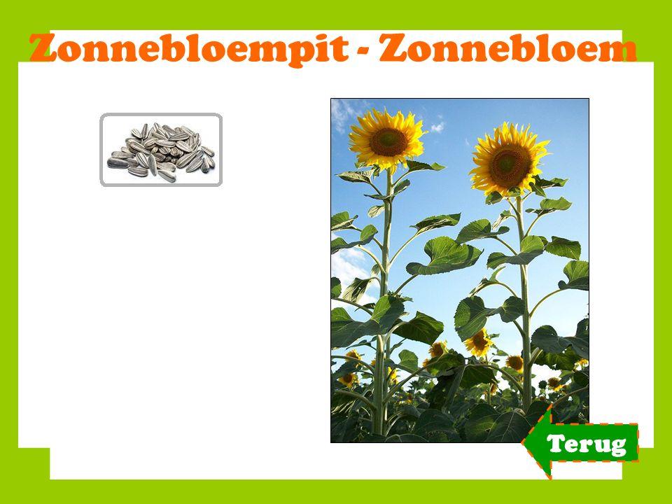 Zonnebloempit - Zonnebloem Terug