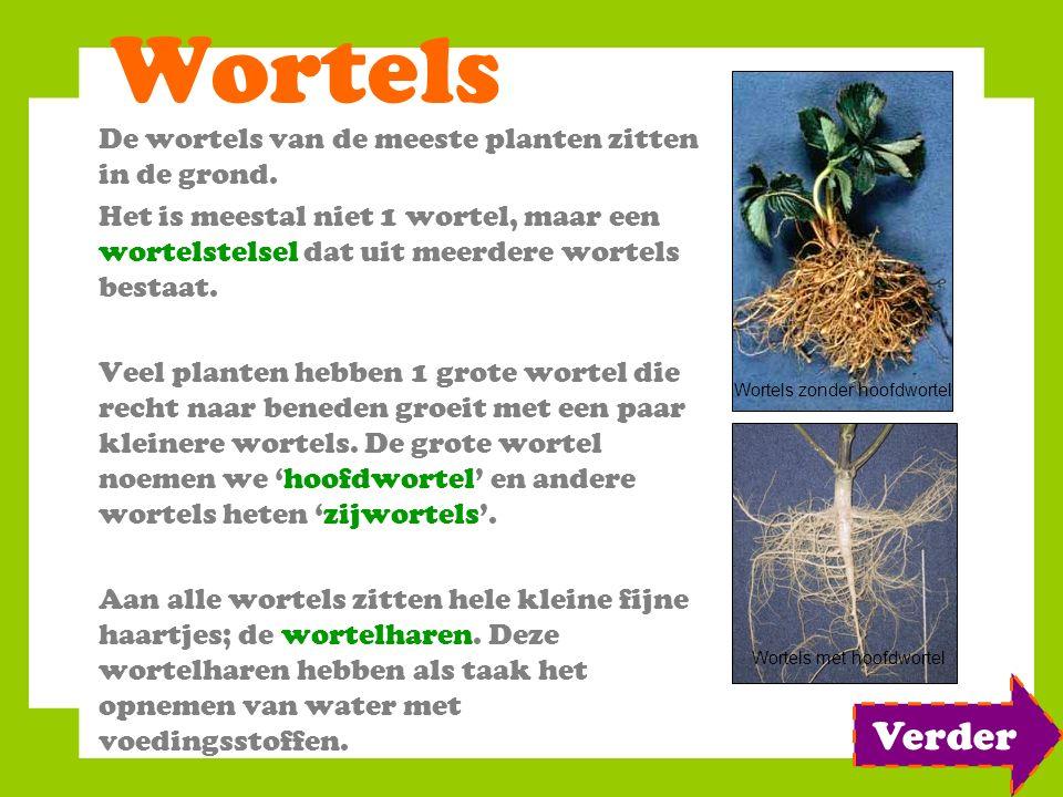 Wortels De wortels van de meeste planten zitten in de grond. Het is meestal niet 1 wortel, maar een wortelstelsel dat uit meerdere wortels bestaat. Ve