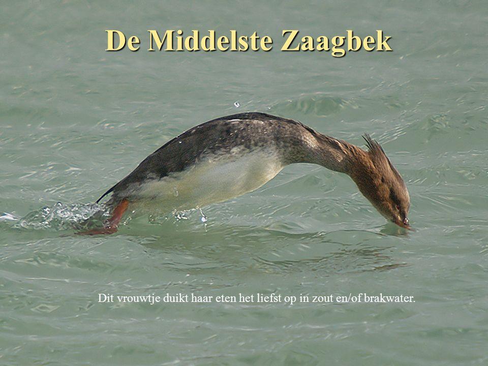 De Kleine Zilverreiger Was vroeger zeldzaam maar wordt nu vaak in zeeland gezien