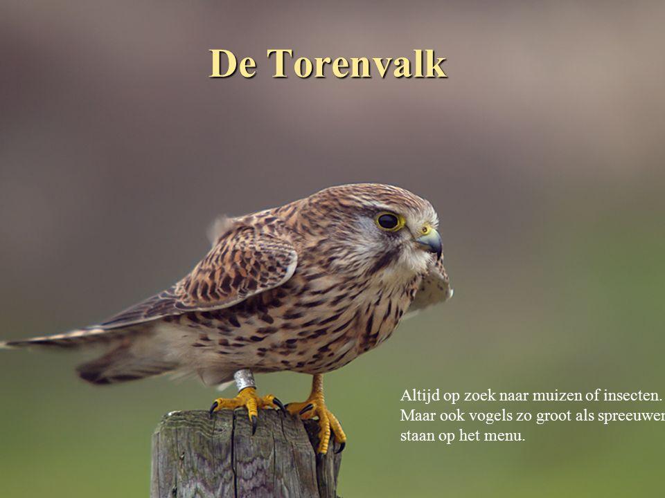 Het Edelhert Normaal trekkend tussen de laagliggende moerassen en de droge gebieden van de Veluwe.