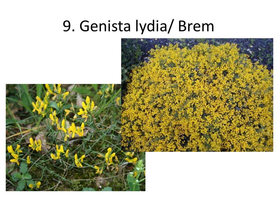 9. Genista lydia/ Brem