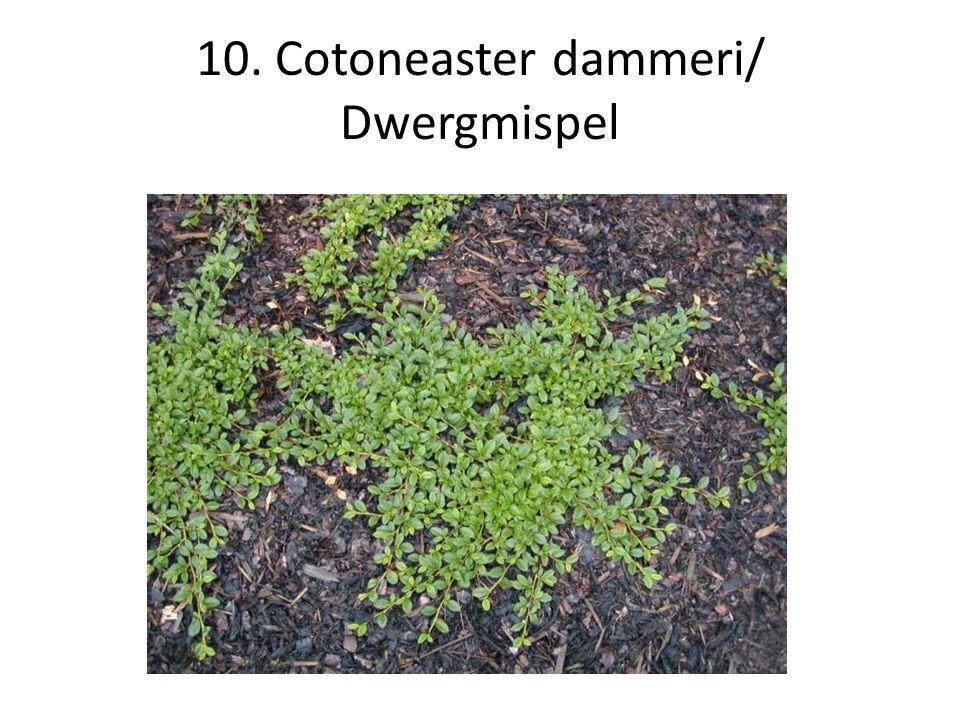 10. Cotoneaster dammeri/ Dwergmispel