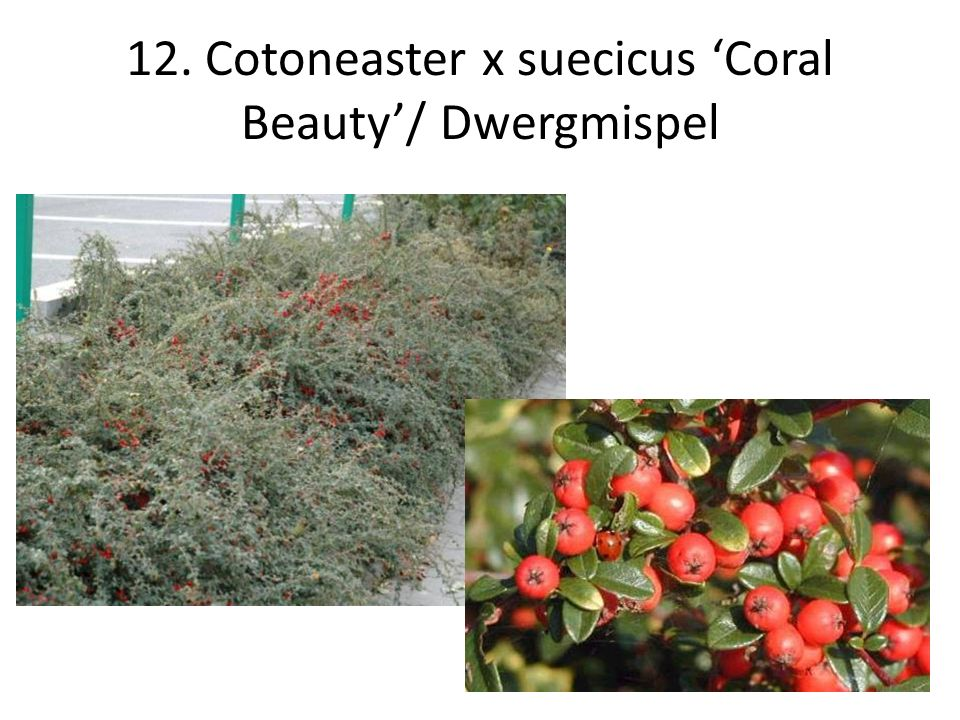 12. Cotoneaster x suecicus 'Coral Beauty'/ Dwergmispel