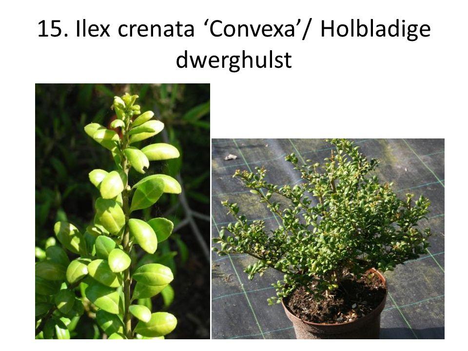 15. Ilex crenata 'Convexa'/ Holbladige dwerghulst