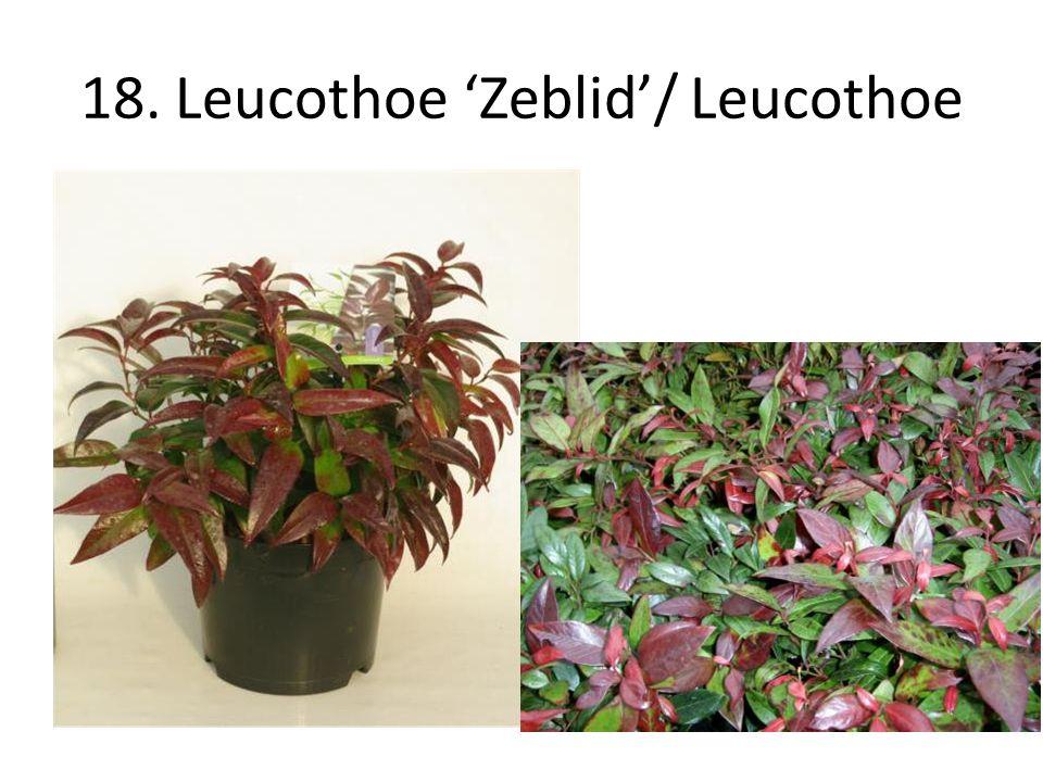 18. Leucothoe 'Zeblid'/ Leucothoe