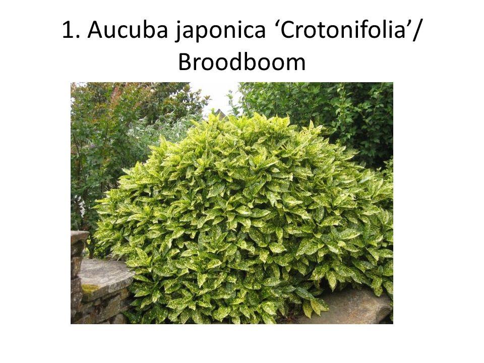 2. Aucuba japonica 'Rozannie'/ Broodboom