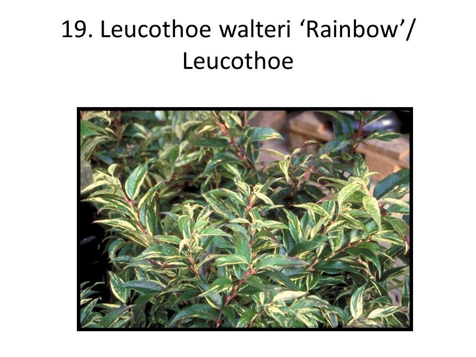 19. Leucothoe walteri 'Rainbow'/ Leucothoe