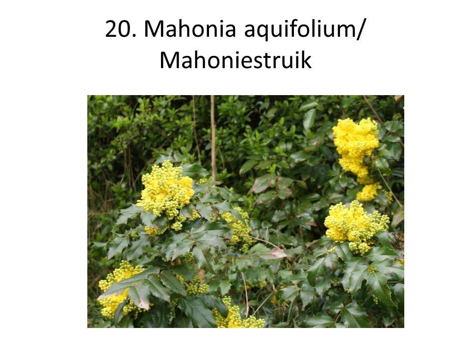 20. Mahonia aquifolium/ Mahoniestruik