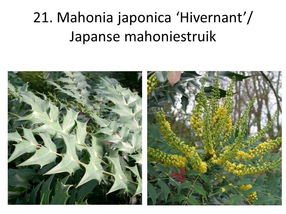 21. Mahonia japonica 'Hivernant'/ Japanse mahoniestruik