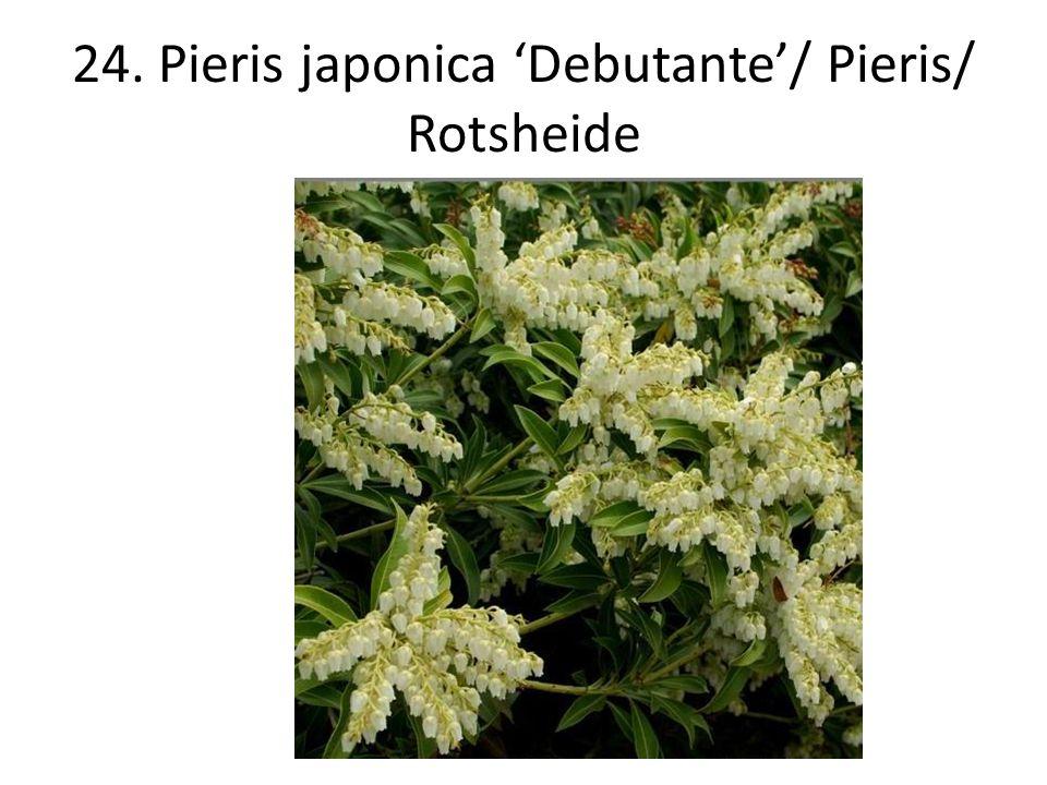 24. Pieris japonica 'Debutante'/ Pieris/ Rotsheide