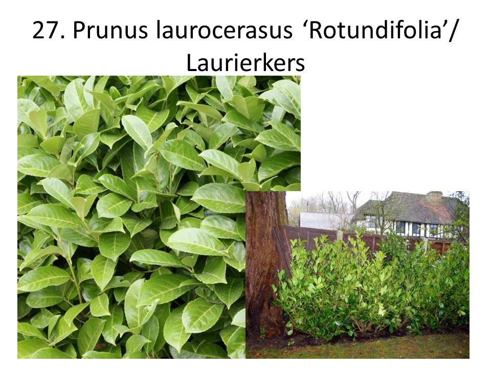 27. Prunus laurocerasus 'Rotundifolia'/ Laurierkers