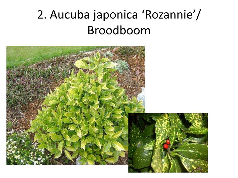 3. Aucuba japonica 'Variegata'/Broodboom