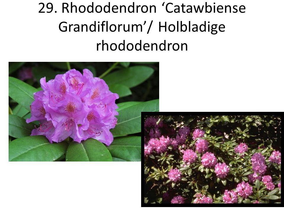 29. Rhododendron 'Catawbiense Grandiflorum'/ Holbladige rhododendron
