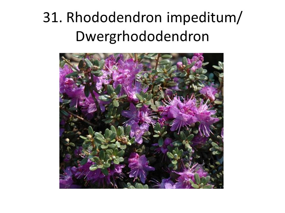 31. Rhododendron impeditum/ Dwergrhododendron