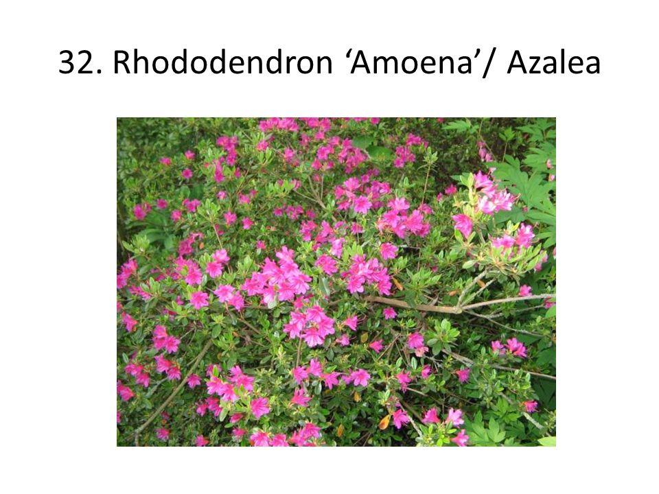 32. Rhododendron 'Amoena'/ Azalea