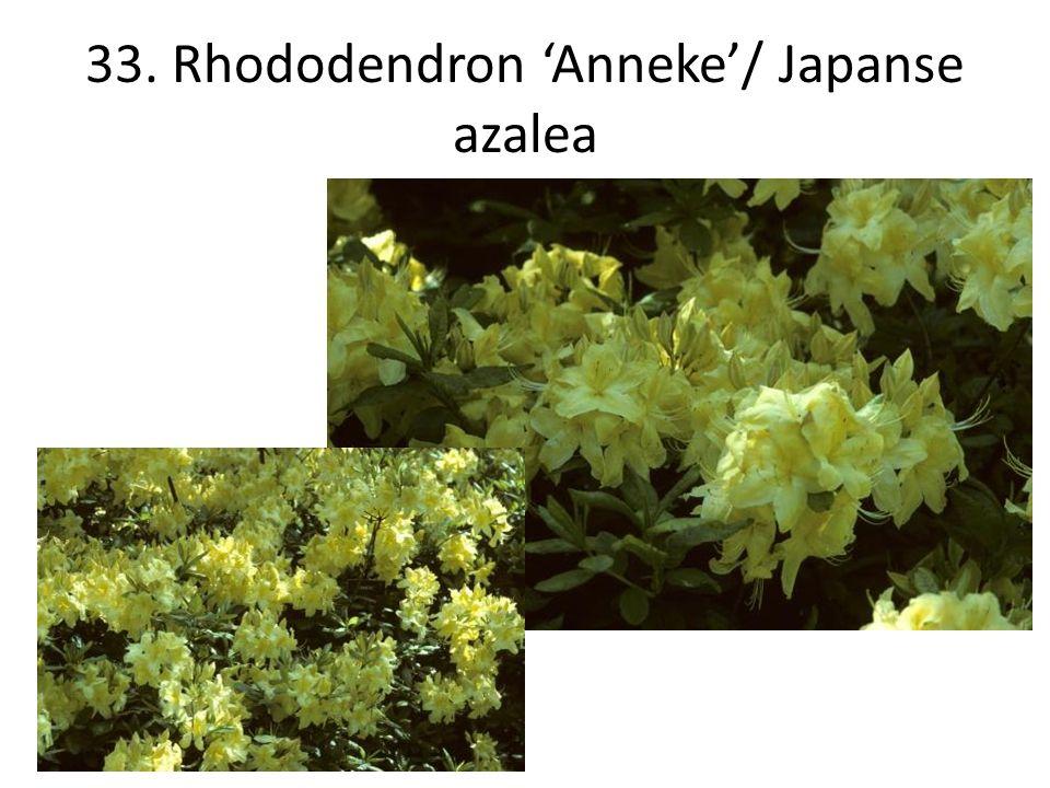 33. Rhododendron 'Anneke'/ Japanse azalea