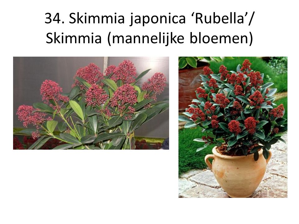 34. Skimmia japonica 'Rubella'/ Skimmia (mannelijke bloemen)