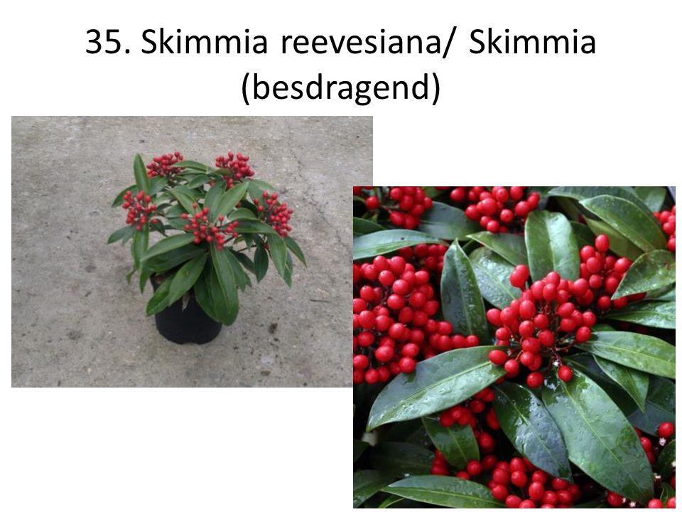 35. Skimmia reevesiana/ Skimmia (besdragend)