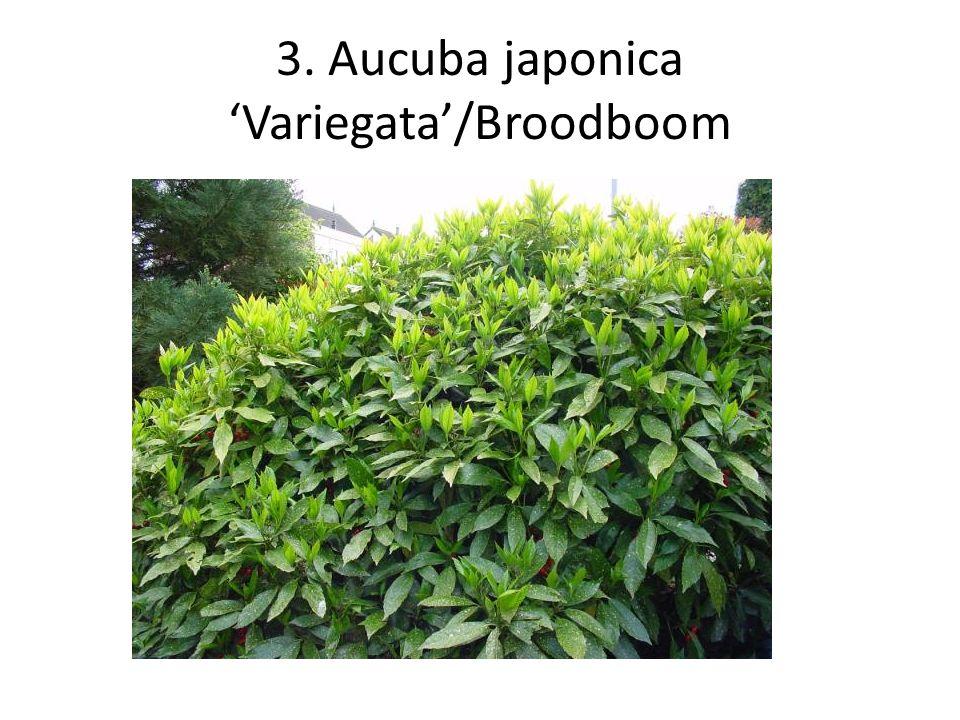 4. Buxus microphylla 'Faulkner'/ Palmboompje