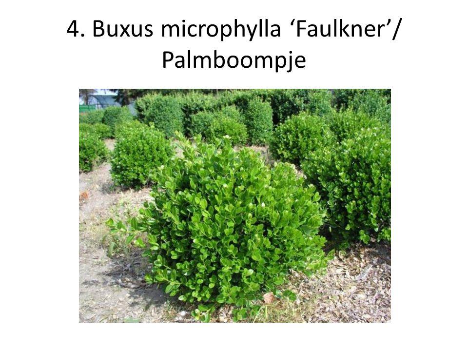 5. Buxus sempervirens/ Palmboompje