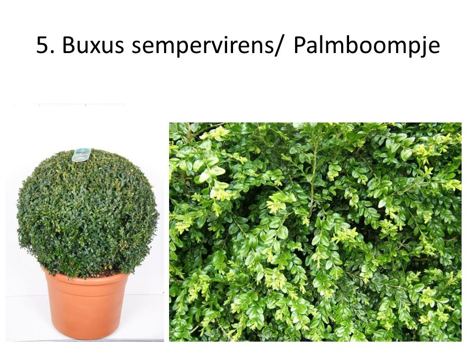 5. Buxus sempervirens/ Palmboompje
