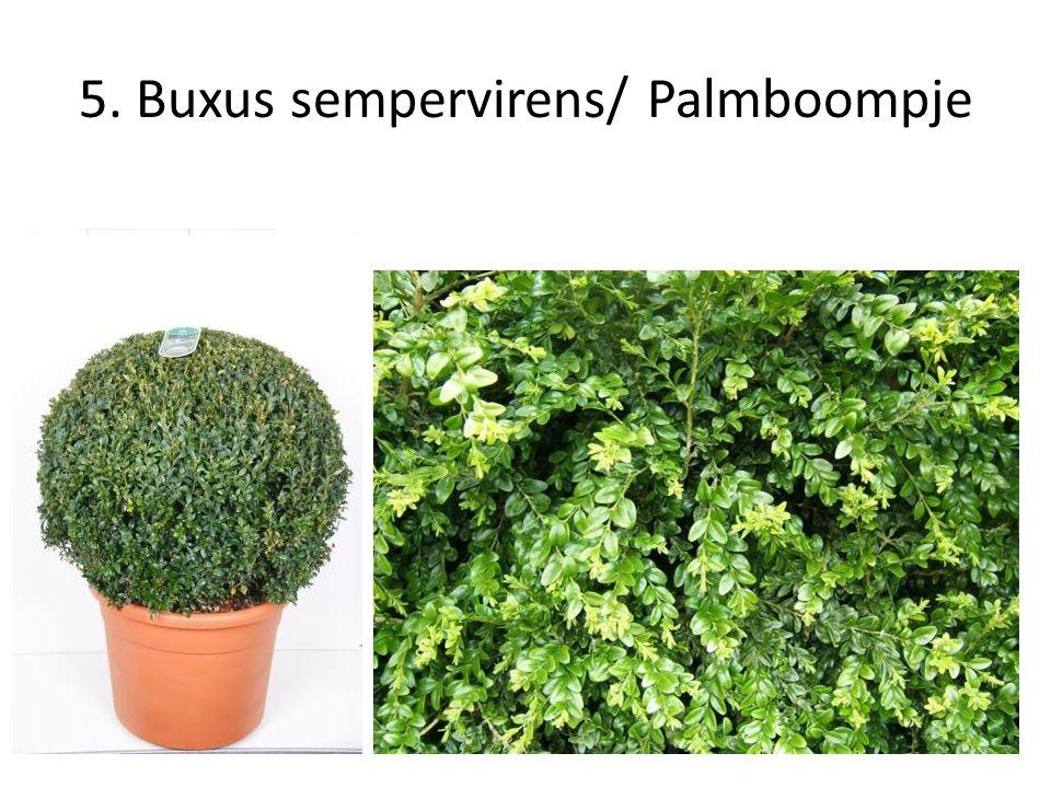 26. Prunus laurocerasus 'Otto Luyken'/ Laurierkers