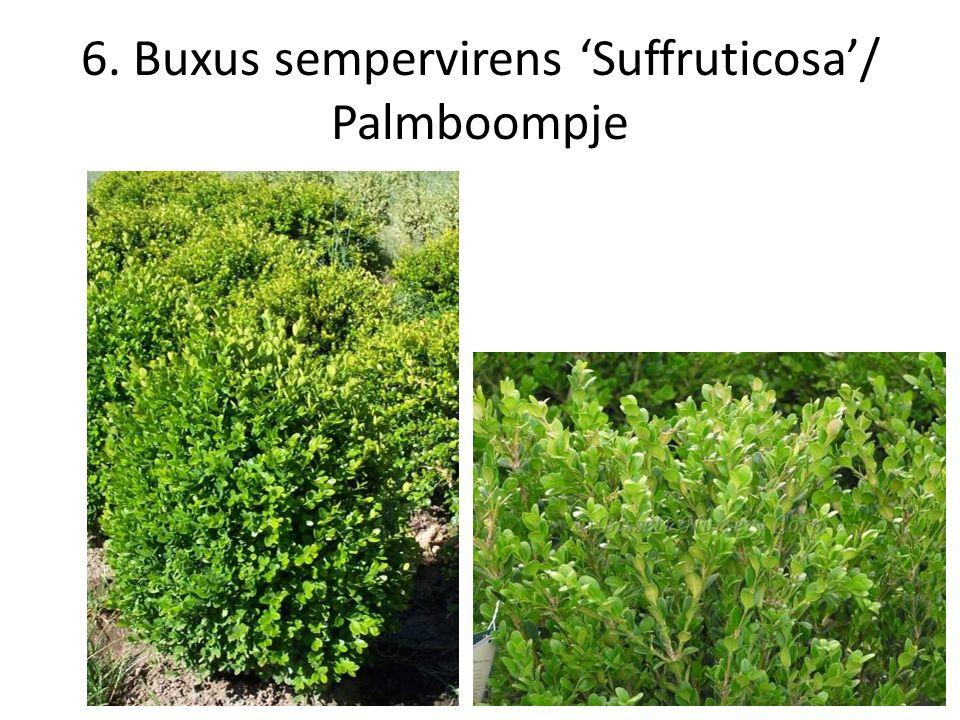 6. Buxus sempervirens 'Suffruticosa'/ Palmboompje